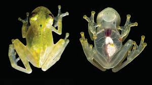 دانشمندان و جامعه علمی نوع جدیدی از استتار قورباغه های شیشه ای را کشف کردند
