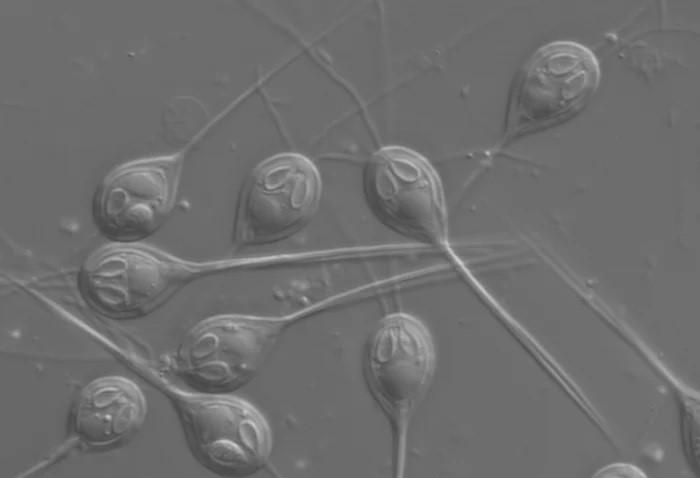 انگل شبیه عروس دریایی چند سلولی