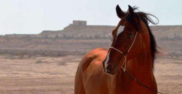 مطالعات ژنتیکی بر روی اسب های عرب و به چالش کشیدن عقاید رایج مردم