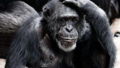 انسانها قادر به درک اطلاعات رفتاری از صدای شامپانزه ها