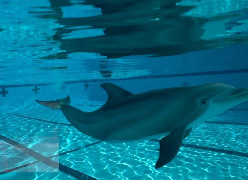 دلفین های روباتیک به آکواریوم چینی می آیند و دقیقاً شبیه واقعیت هستند