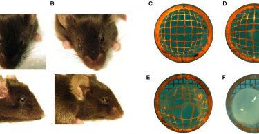 نتایج جالب تزریق همزمان دو سلول سالم بینایی به چشم نابینا در موشهای کور