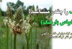 خواص درمانی گیاه اسفرزه در پیشگیری از یبوست و درمان اسهال