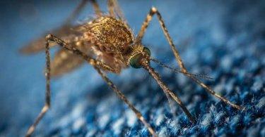 تغییر ژنتیک در حشرات برای کنترل آفات مضر