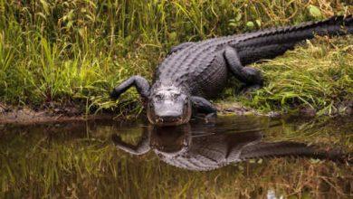 مطالعه جدید نشان می دهد که تمساح ها می توانند دم خود را باز سازی کنند بدن خزندگان