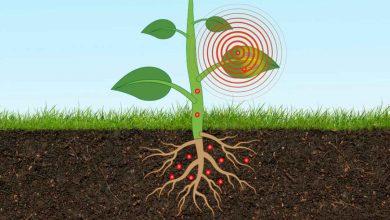 حسگر زیستی تعبیه شده در بافت گیاه می تواند سطح آرسنیک خاک را بسنجد فلزات سنگین